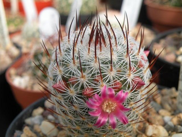 UK Mammillaria Reference Collection Elegan10