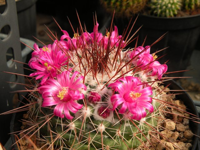 The Mammillaria Society Seeds distribution 2007 Flores10