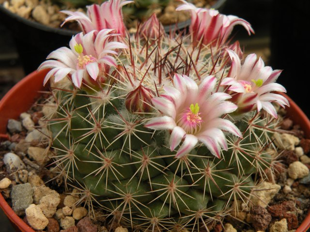 The Mammillaria Society Seeds distribution 2007 Standl10