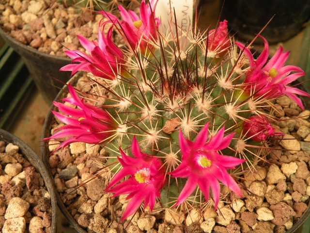 The Mammillaria Society Seeds distribution 2007 Tesopa10