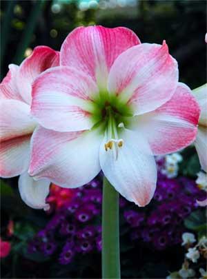 Le langage des fleurs . Amaryl10