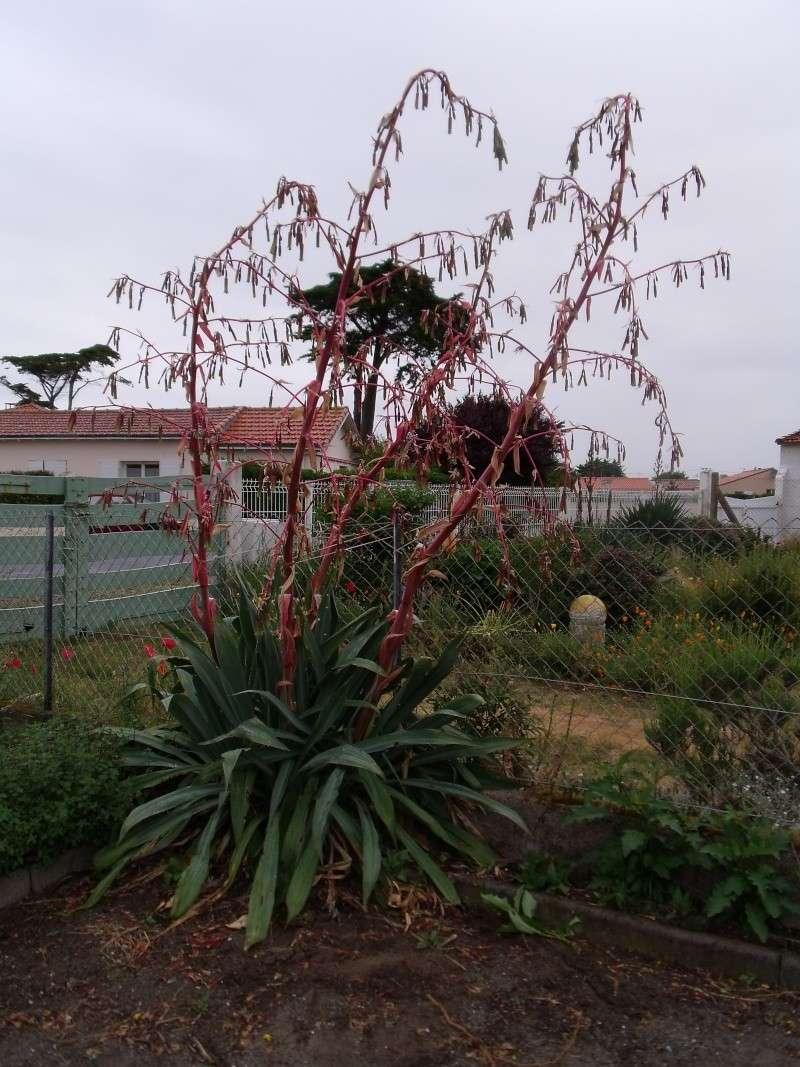 Le Beschorneria (sans doute) yuccoides Dscf0410
