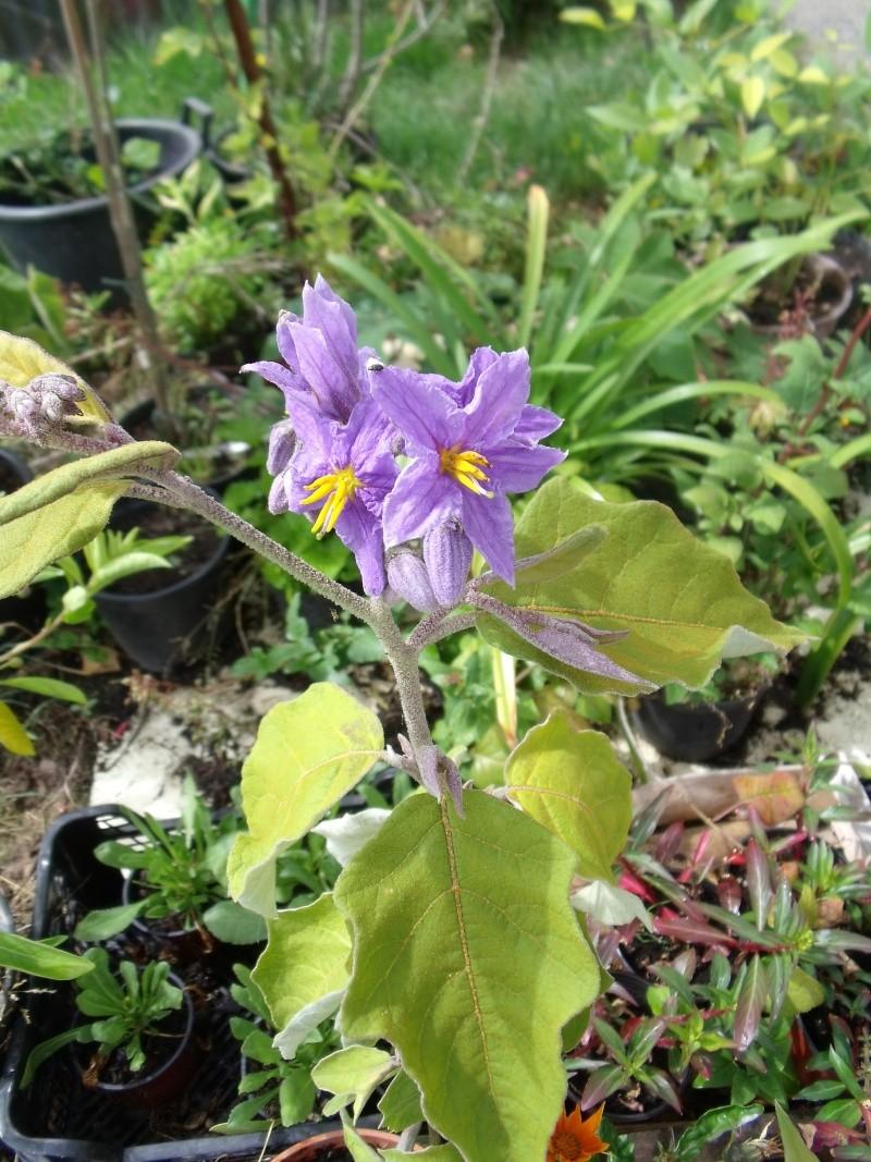 Pour Anselme 44, mon Solanum lanceolatum  Dscf0426