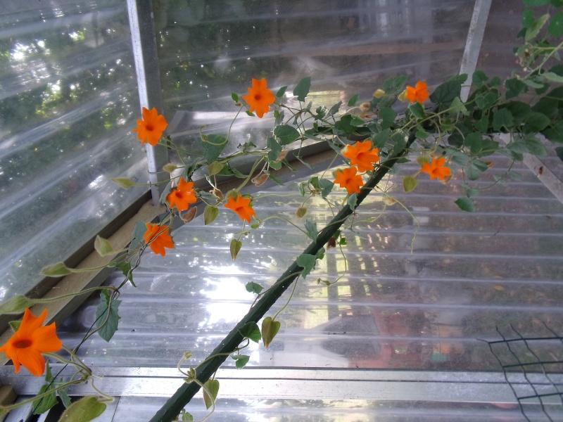 Quelques thunbergia en fleurs en ce moment Thumbe10