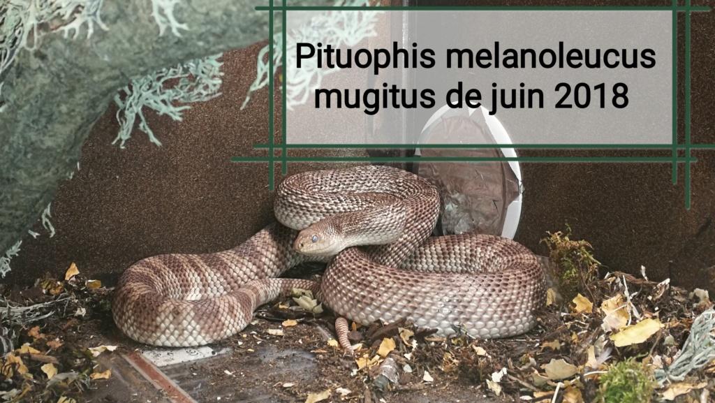 Pituophis melanoleucus mugitus  Img_2040