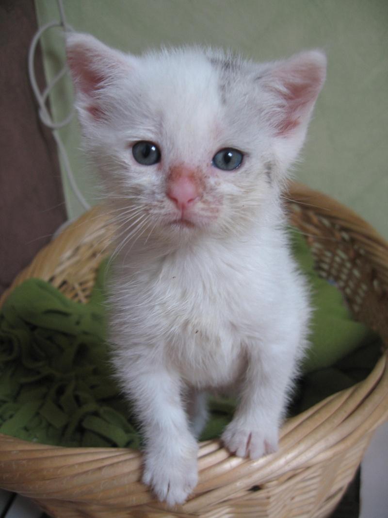 Florette, jolie petite blanche avec quelques tâches  - chaton 2010 Chaton22