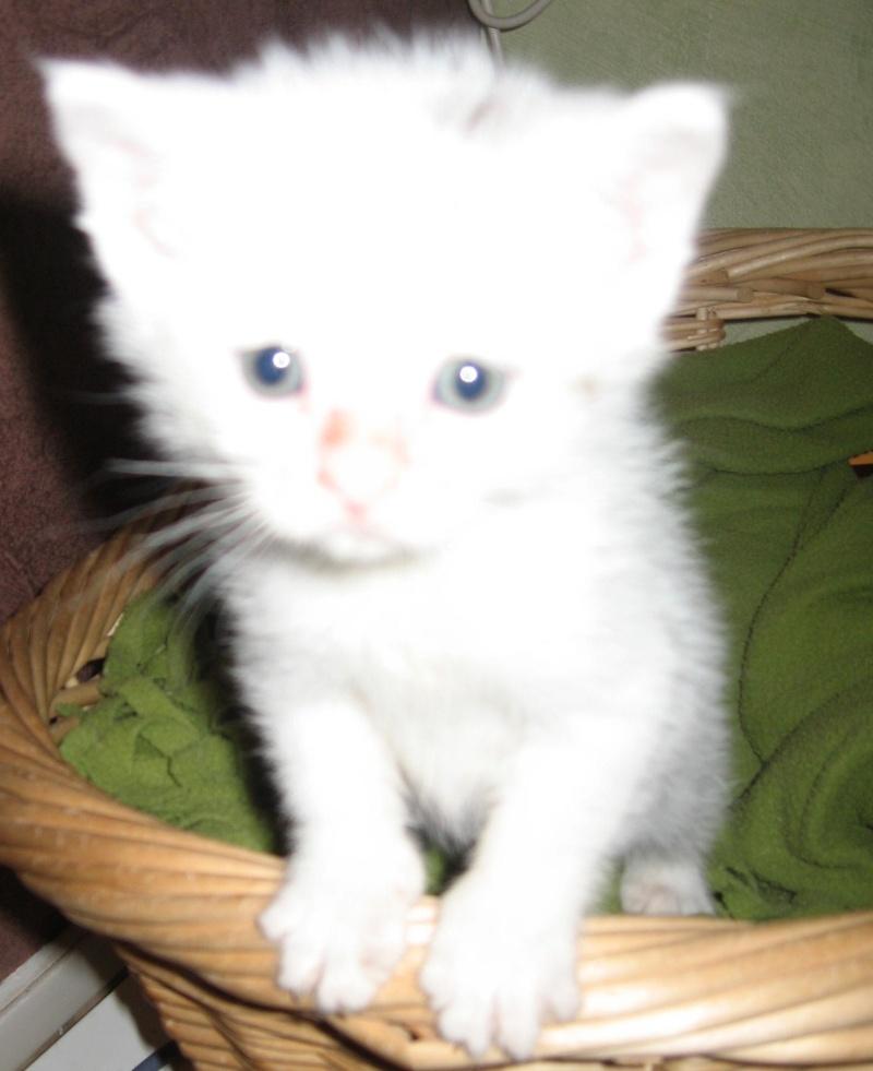 Florette, jolie petite blanche avec quelques tâches  - chaton 2010 Floret11