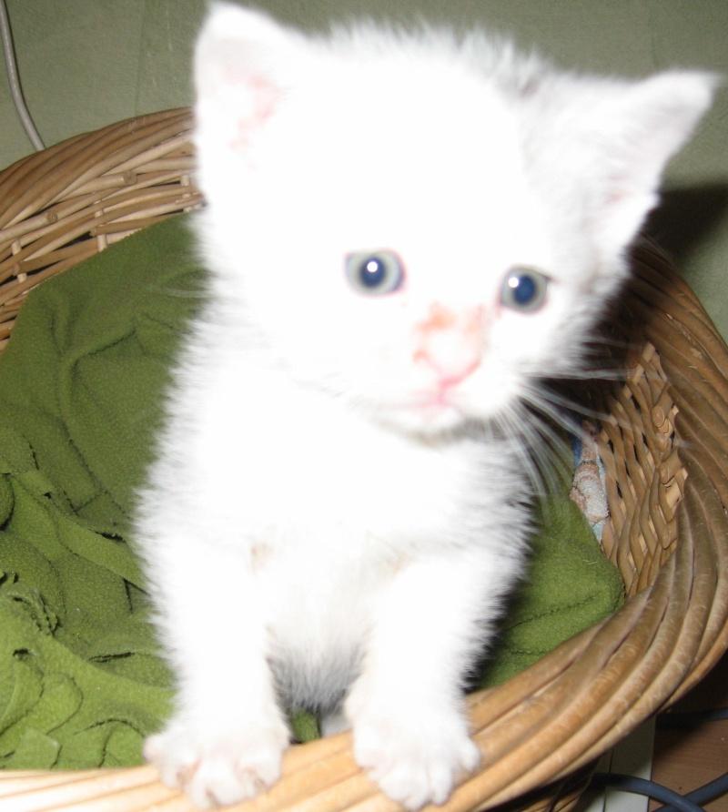 Florette, jolie petite blanche avec quelques tâches  - chaton 2010 Floret13