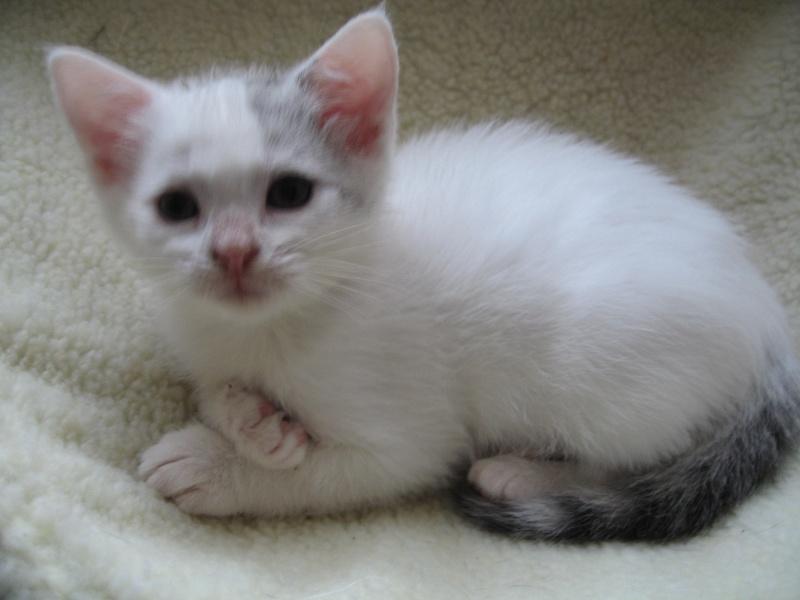 Florette, jolie petite blanche avec quelques tâches  - chaton 2010 Floret16