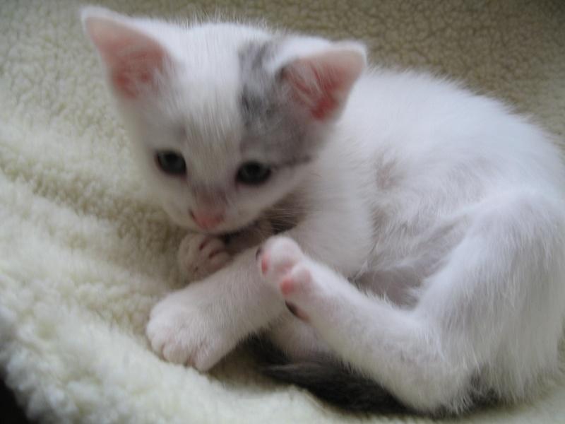 Florette, jolie petite blanche avec quelques tâches  - chaton 2010 Floret17