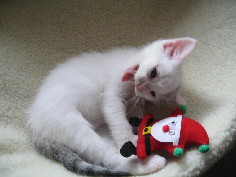 Florette, jolie petite blanche avec quelques tâches  - chaton 2010 Floret23