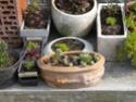 ma petite collection de sempervivum Dscn6620