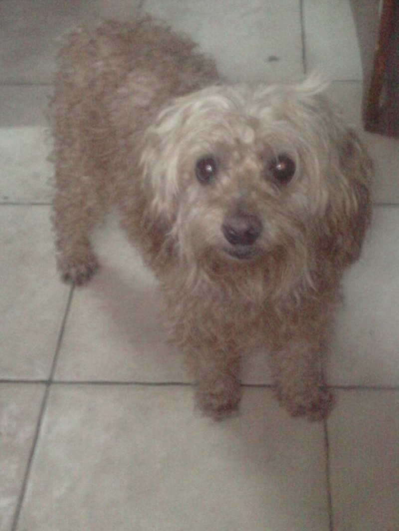 caniche male 10 ans 79741010
