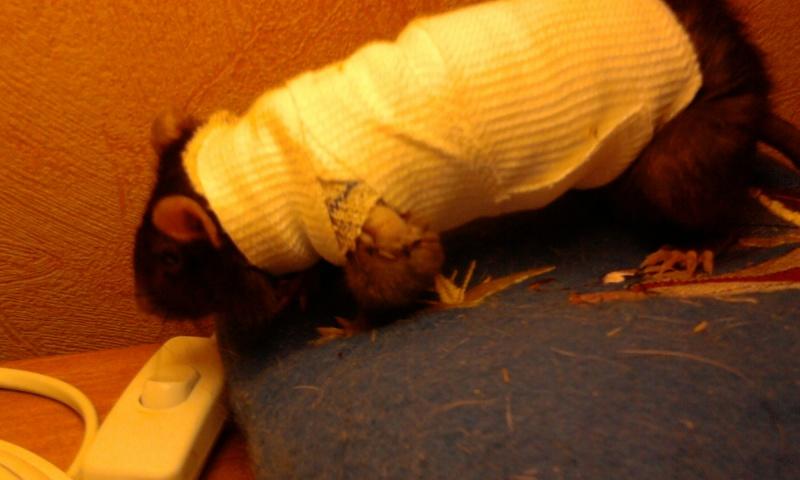 Le rat saucisson - Protéger une plaie après opération Photo010