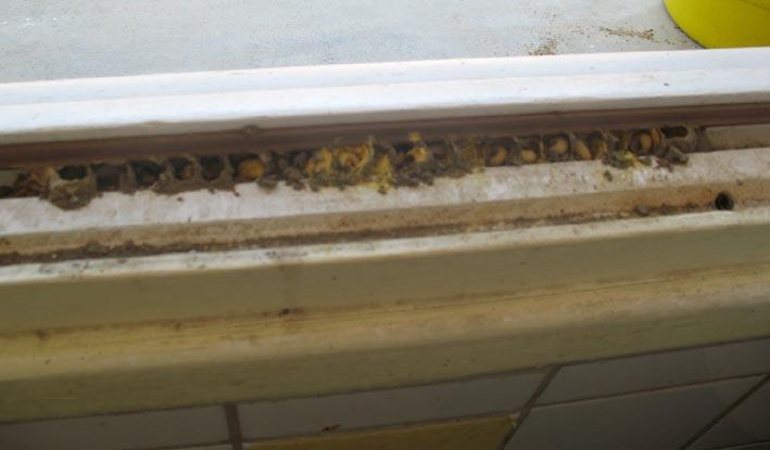 """Une abeille solitaire """"sous"""" nos fenêtres Alveol15"""