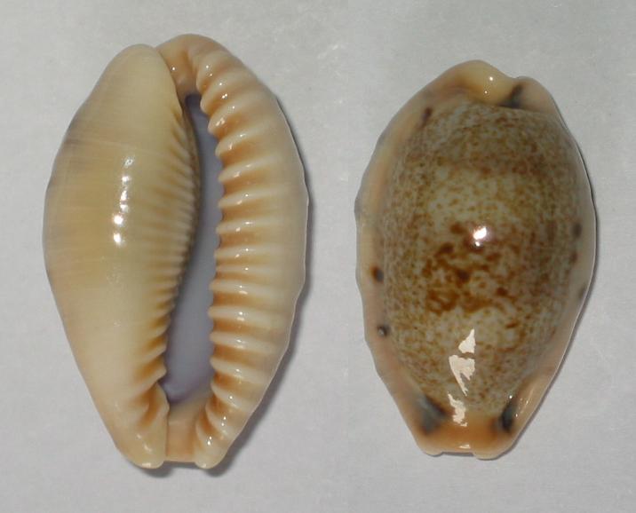 Erronea caurica corrosa - (Gronovius, 1781) voir Erronea caurica - (Linnaeus, 1758) Cyprae12