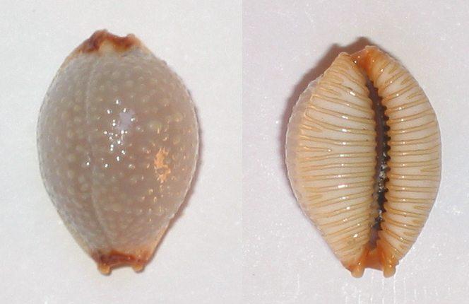 Staphylaea staphylaea staphylaea - (Linnaeus, 1758) Cyprae15