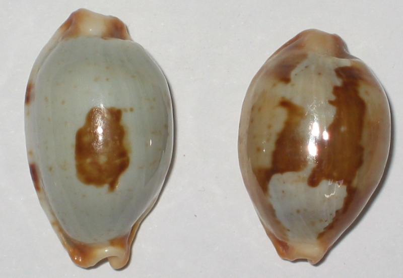 stolida crossei - Bistolida stolida - (Linnaeus, 1758) Deux_s10
