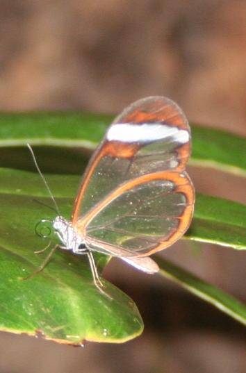 [Greta oto]papillons exotiques 7 Tous_e10