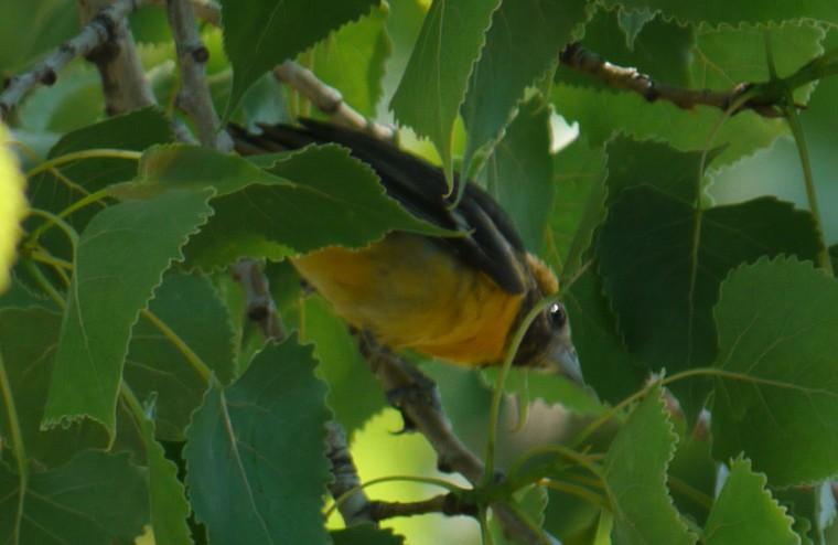 Quel oiseau, s.v.p. P1070910