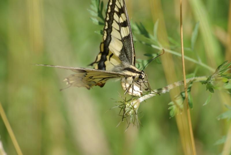 [Papilio machaon] Ponte de Machaon Imgp5711
