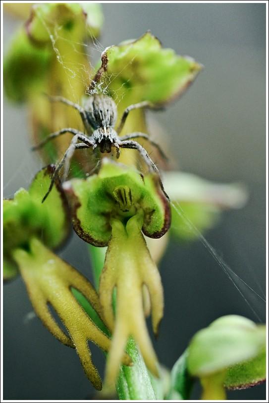 L'homme pendu Arachn10
