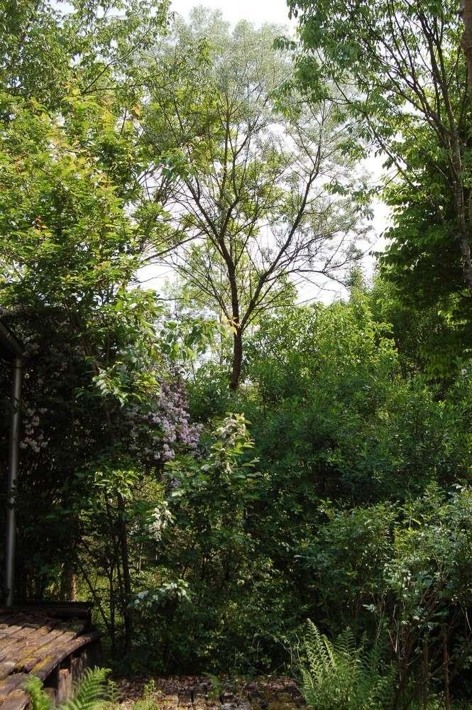 Elaeagnus angustifolia, Olivier de Bohême - Page 3 Dsc_0051