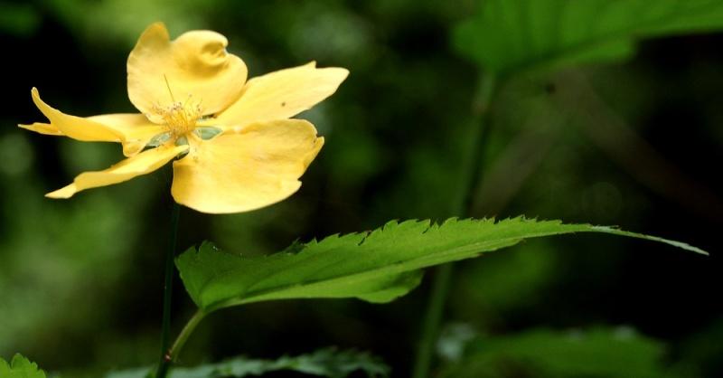 Corete a fleurs simple Dsc_0067