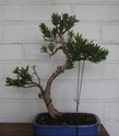 Idea for podocarpus Sth71718