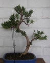 Idea for podocarpus Sth71720