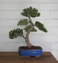 Idea for podocarpus Sth71723