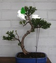 Idea for podocarpus Sth71725