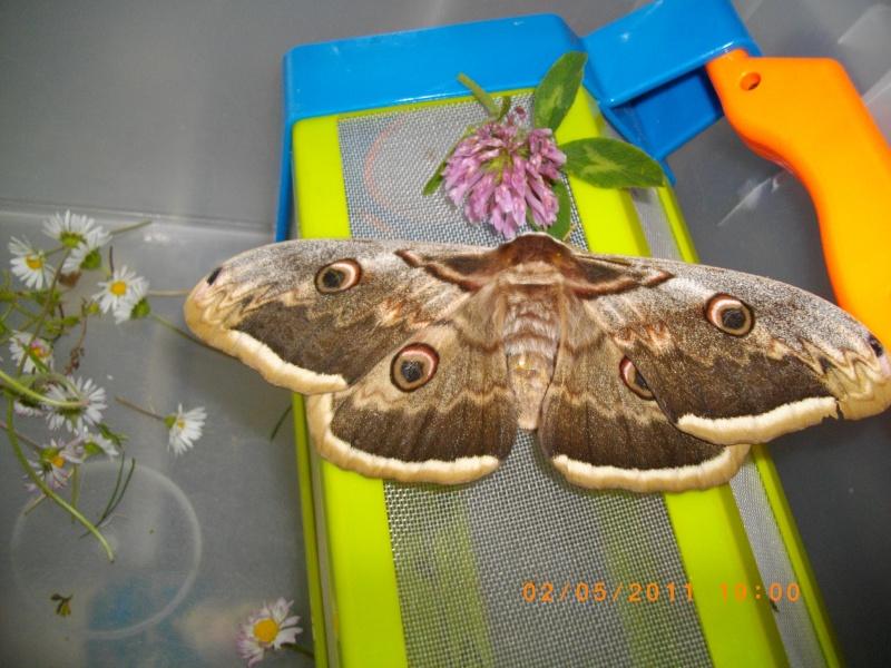 papillon (paon de la nuit) Imgp3210