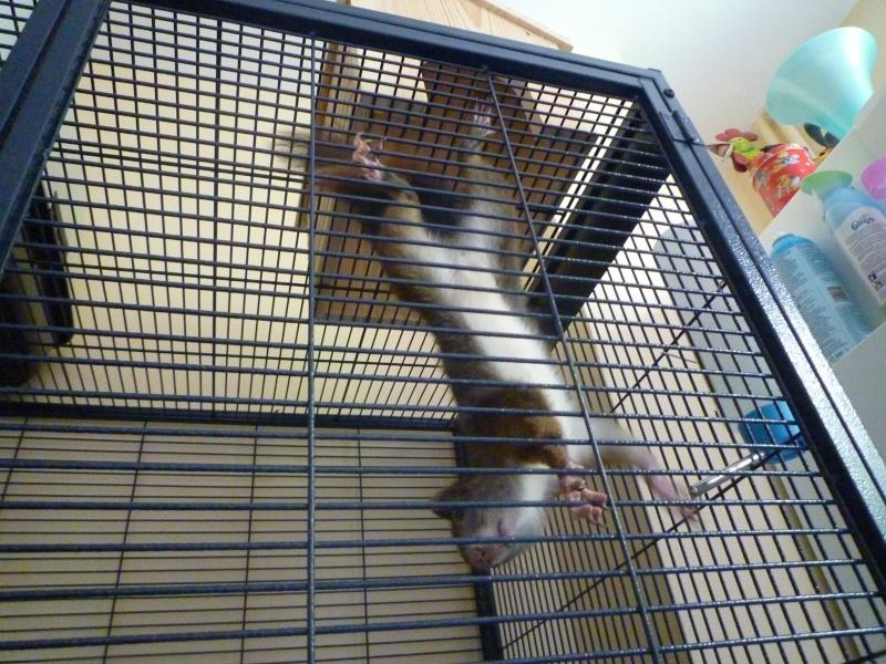 Présentation de mon écureuil du Japon à ventre blanc : voici Youky P1010325