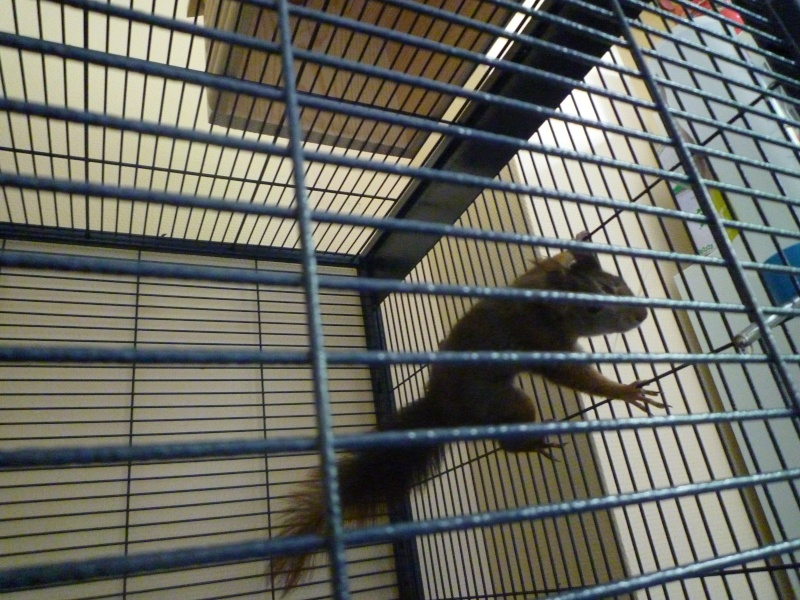 Présentation de mon écureuil du Japon à ventre blanc : voici Youky P1010326