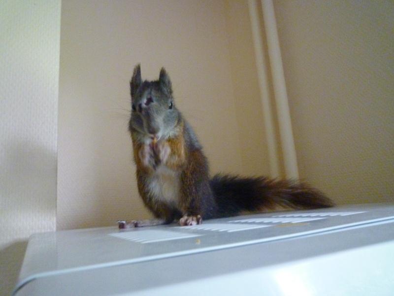 Présentation de mon écureuil du Japon à ventre blanc : voici Youky P1010411