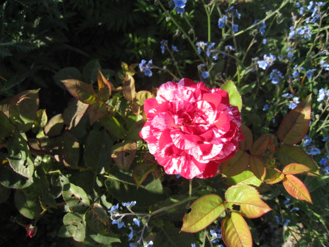 une rose Photo_22