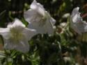 Un geranium mais lequel??? Dscn7311