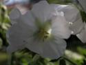 Un geranium mais lequel??? Dscn7312