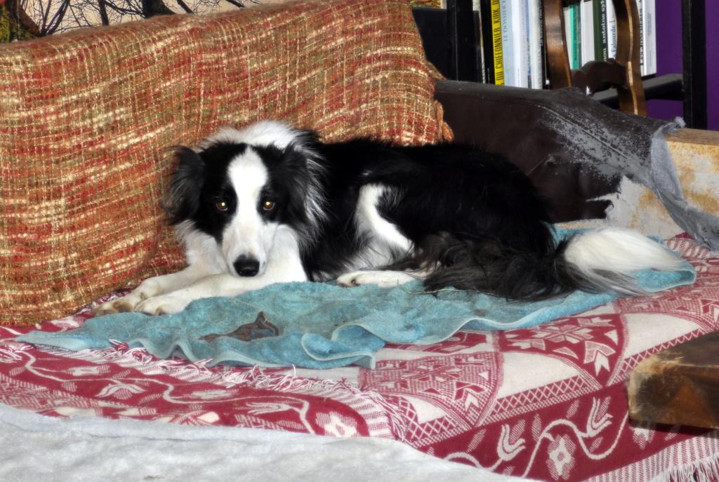 PACO, border mâle de 3 ans avec un gros instinct de chien de troupeaux _dsc0010