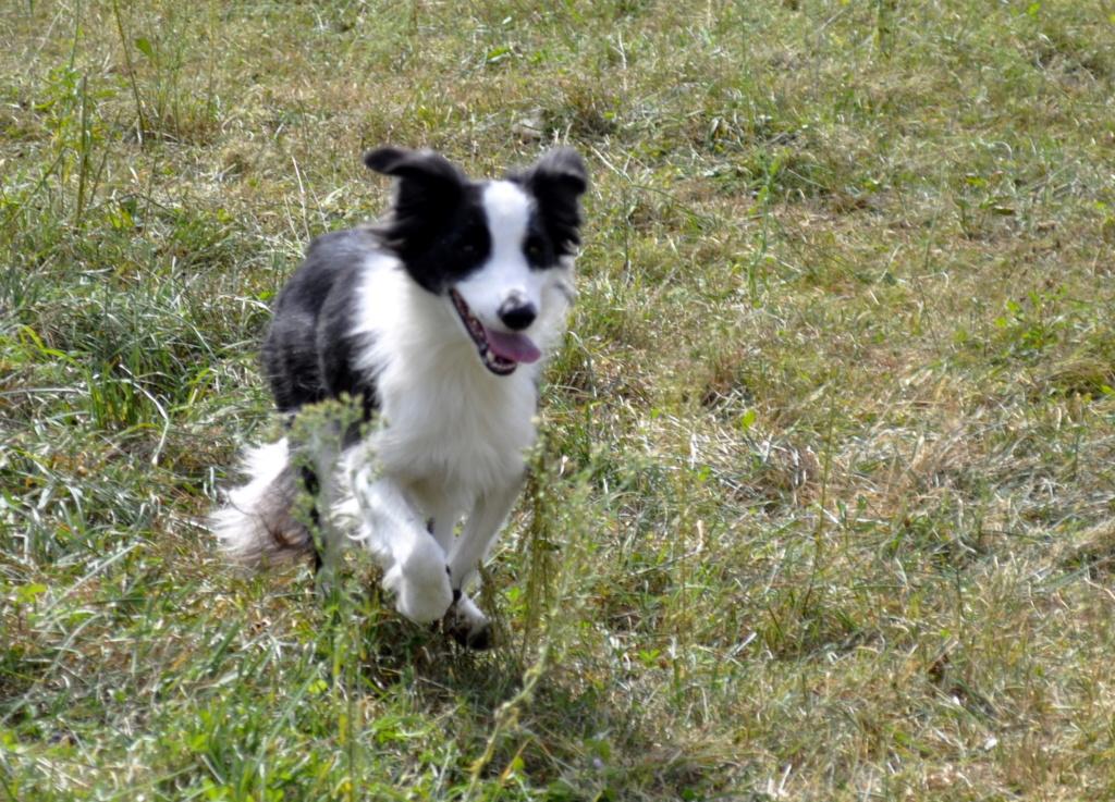 PACO, border mâle de 3 ans avec un gros instinct de chien de troupeaux Paco_110