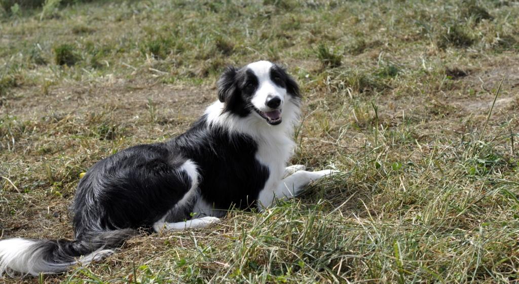 PACO, border mâle de 3 ans avec un gros instinct de chien de troupeaux Paco_111