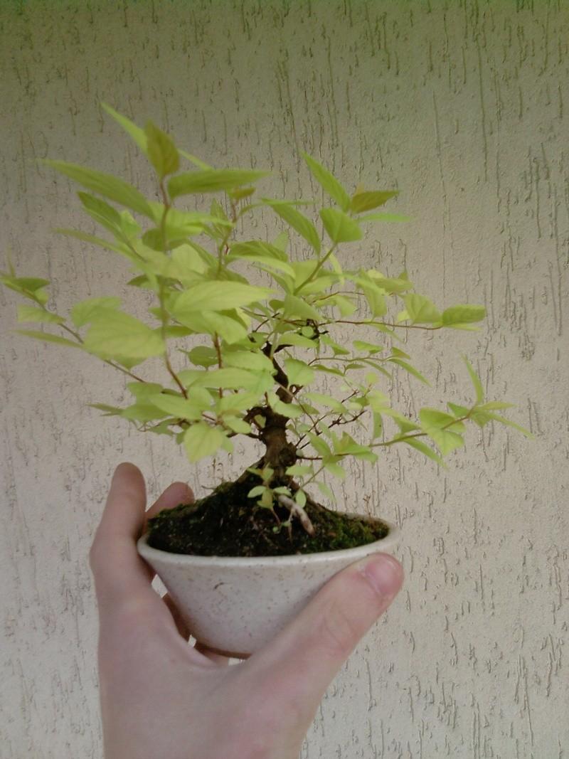 Spirea Japonica fresca fresca P2104110