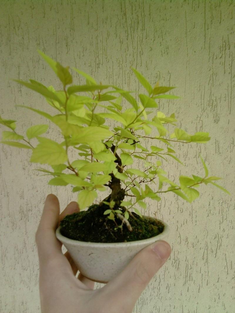 Spirea Japonica fresca fresca P2104111