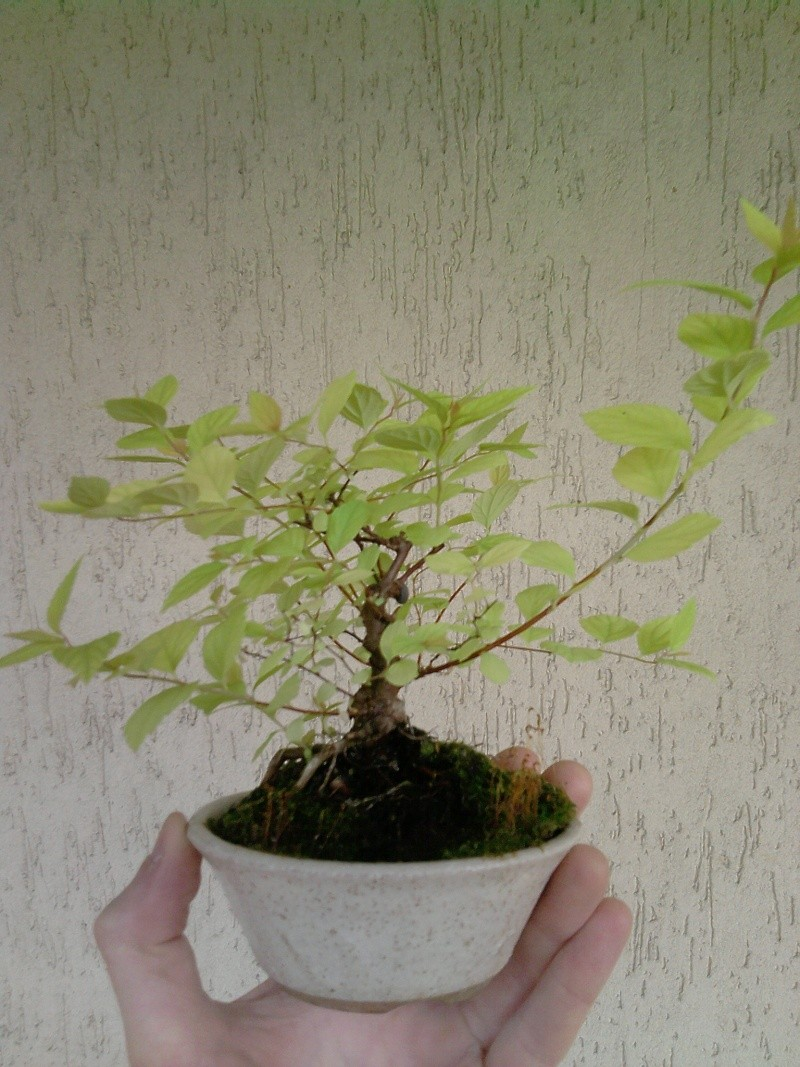Spirea Japonica fresca fresca P2104112