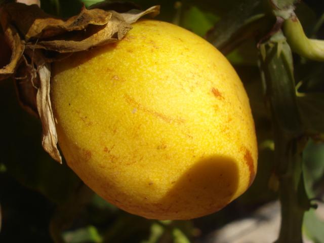 Pasiflora in Morocco Alata_11