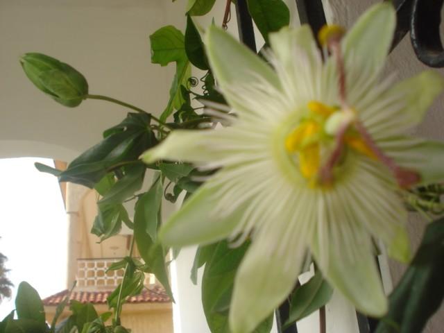 Pasiflora in Morocco Avalan10