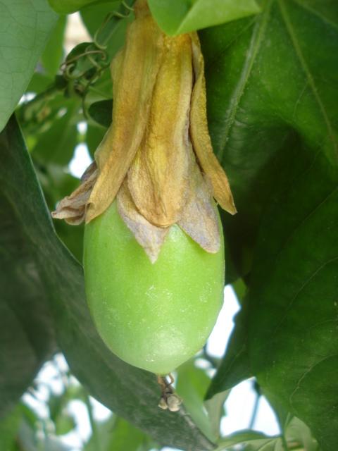 fruit belotii Beloti10