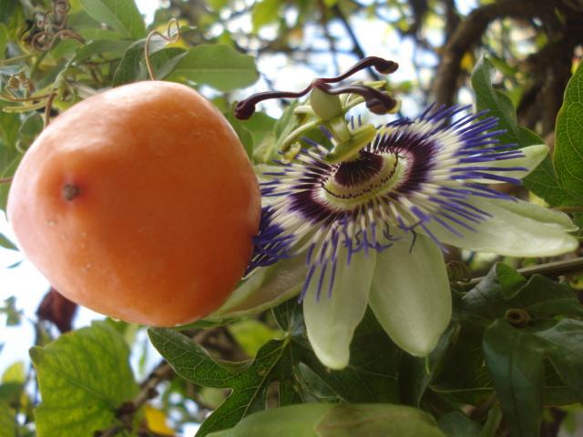Pasiflora in Morocco Caer_f10
