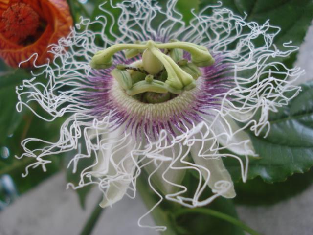 Pasiflora in Morocco Edulis10